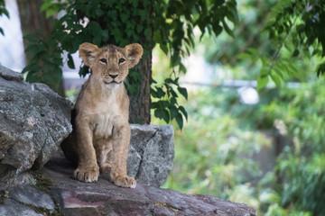 Löwenbaby schaut in die Kamera