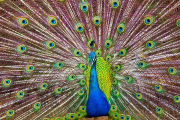 A Peacock Displaying Its Colorful Feathers in Kauai, Hawaii