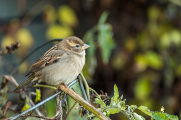 cute female sparrow resting on the branch in the garden with blurry background