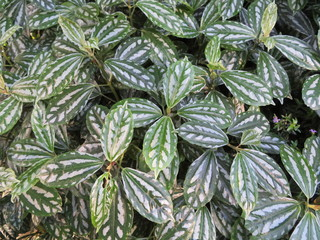 green leaf background, pilea cadierei