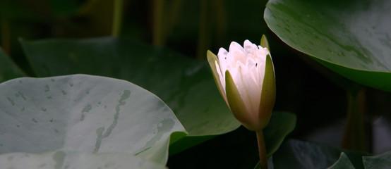 Garden Poster Lotus flower white lotus in pond