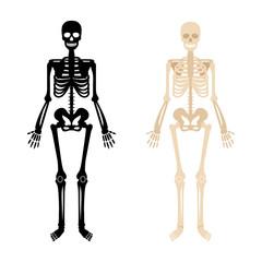Human skeleton. Back and white bones anatomy skeleton vector illustration, skeletal biology system isolated on white background