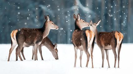 Wall Mural - Group of beautiful female graceful deer in a snowy winter forest. Noble deer (Cervus elaphus). Winter wonderland.