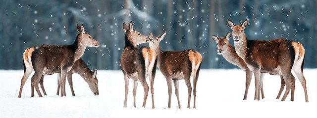 Group of beautiful female graceful deer in a snowy winter forest. Noble deer (Cervus elaphus). Winter wonderland. Banner design.