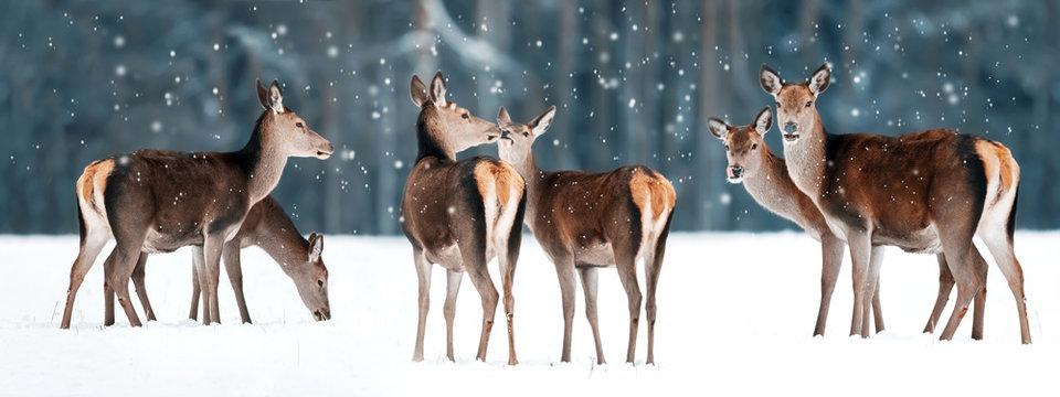 Group of beautiful female graceful deer in a snowy winter forest. Noble deer (Cervus elaphus). Winter wonderland. Banner design.