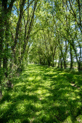 Grass road between two lines of trees