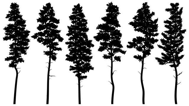 Silhouettes of tall pine trees (cedar).