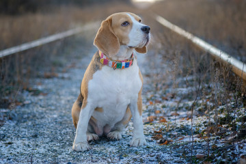 portrait of a Beagle dog while walking in the Park