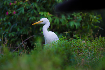 Cattle Egret in the garden in its natural habitat in a soft blurry background.
