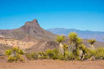 American desert with yucca plants