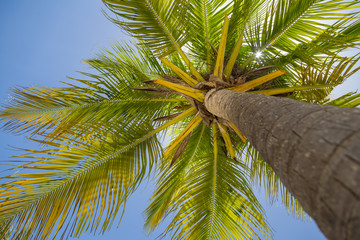 Looking up at coconut palm trees. Summer time.
