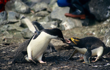 Penguins fighting each other