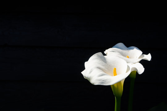Condolence card with white calla lily flowers on black background, dark key concept, copy space