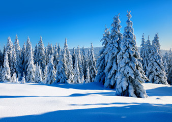 Untouched Winter Landscape of fir trees under sunny blue sky, everything covered by fresh snow
