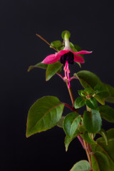 red blooming fuchsia on black background