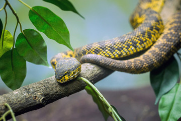 mangrove pit viper lying on the tree.
