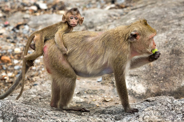 Monkey, mother and baby in the natural atmosphere.