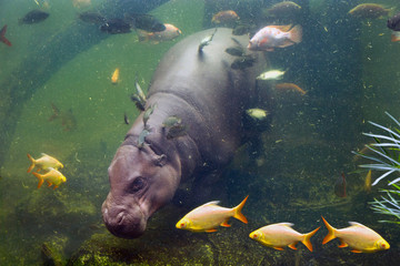 Pygmy hippos are swimming in the water with the fish.