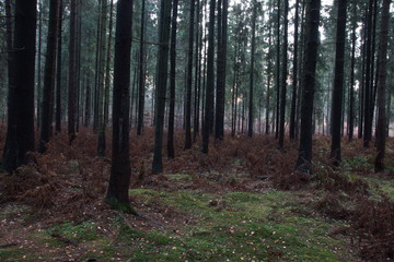 Spruce forest in autumn with fallen needles and withered ferns