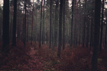 Dark fir forest in the fall with fallen needles and withered ferns, the path goes deep into the forest