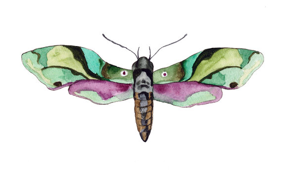 watercolor illustration of the moth night butterfly