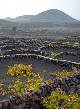 Lanzarote, Canary Islands, Spain, Vineyard on the lava