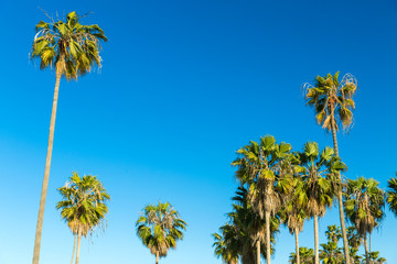 Fotobehang Los Angeles nature and summer holidays concept - palm trees over blue sky at venice beach, california