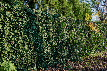The fence is decorated with the usual ivy Hedera Helix at a height of about 2 meters. Original texture of natural greenery. Background from elegant leaves. Nature concept for design