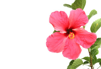 Beautiful hibiscus flower on white background