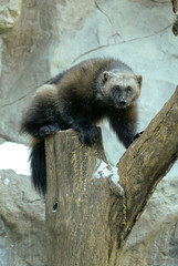 Wolverine adult taken in southern MN under controlled conditions