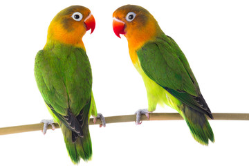 Photo sur Toile Perroquets fischeri lovebird parrot