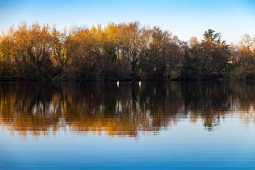 Paysage d'automne avec des Cygnes  qui pêchent la tête dans l'eau
