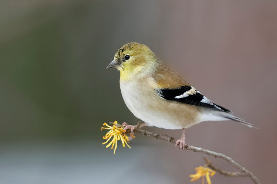 American Goldfinch perched on a Witch Hazel branch in late autumn