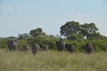 Herd of elephant from behind