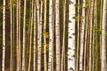 Nice young birch forest in fall with some yellow autumn leaves