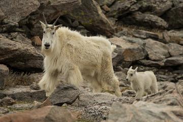 Mountain Goat taken in Mt Evans Colorado