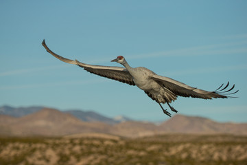 Sandhill Crane adult in flight taken in southern New Mexico