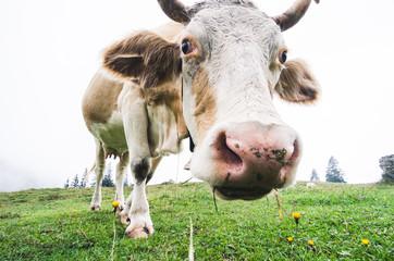 Funny fisheye shot of a grazing cow