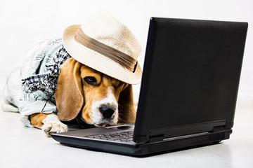 funny stylish dog beagle in hat looks laptop