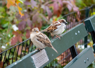 Male and Female House Sparrow