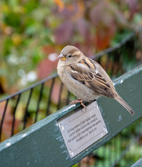Female Sparrow on bench