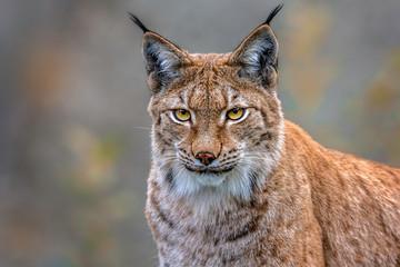 Printed roller blinds Lynx Der Luchs