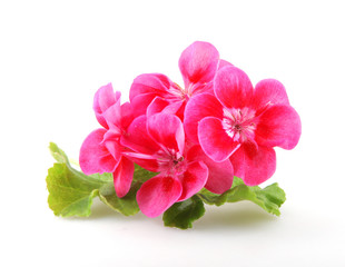 Geranium Pelargonium Flowers Isolated On White Background