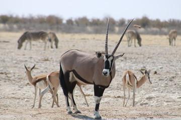 oryx at waterwhole
