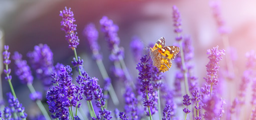 Butterfly on lavender flowers on a sunny warm day