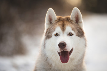 Close-up portrait of gorgeous Husky dog sitting in winter forest at sunset.