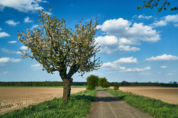 A dirt road and flowering fruit trees in spring in Poland.