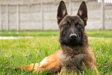 Young puppy of belgian shepherd, foxy with black Malinois, lying on the green grass