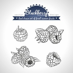 Blackberry. Set of fresh fruits, whole, half and bitten with leaf. Vector illustration. Isolated on white background