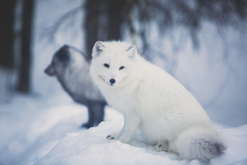 Keuken foto achterwand Europese Plekken Close up portrait view of Arctic Fox in Finland, Lapland, near Rovaniemi